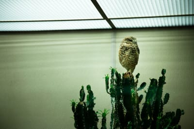 Captive - Burrowing Owl